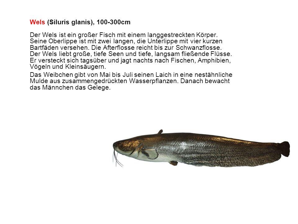 Wels (Siluris glanis), 100-300cm Der Wels ist ein großer Fisch mit einem langgestreckten Körper.