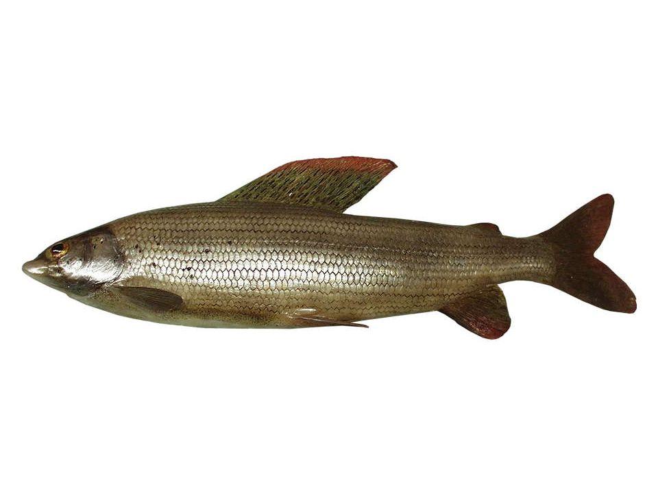 Äsche (Thymallus thymallus), 25-50cm Die Äesche mit ihrer fahnenartig ausgezogenen Rückenflosse lebt in schnell fließenden Bächen und kleineren Flüssen.