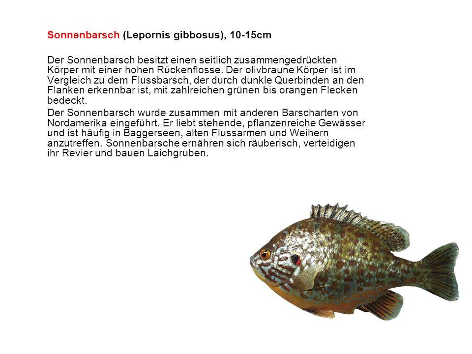 Sonnenbarsch (Lepornis gibbosus), 10-15cm Der Sonnenbarsch besitzt einen seitlich zusammengedrückten Körper mit einer hohen Rückenflosse.