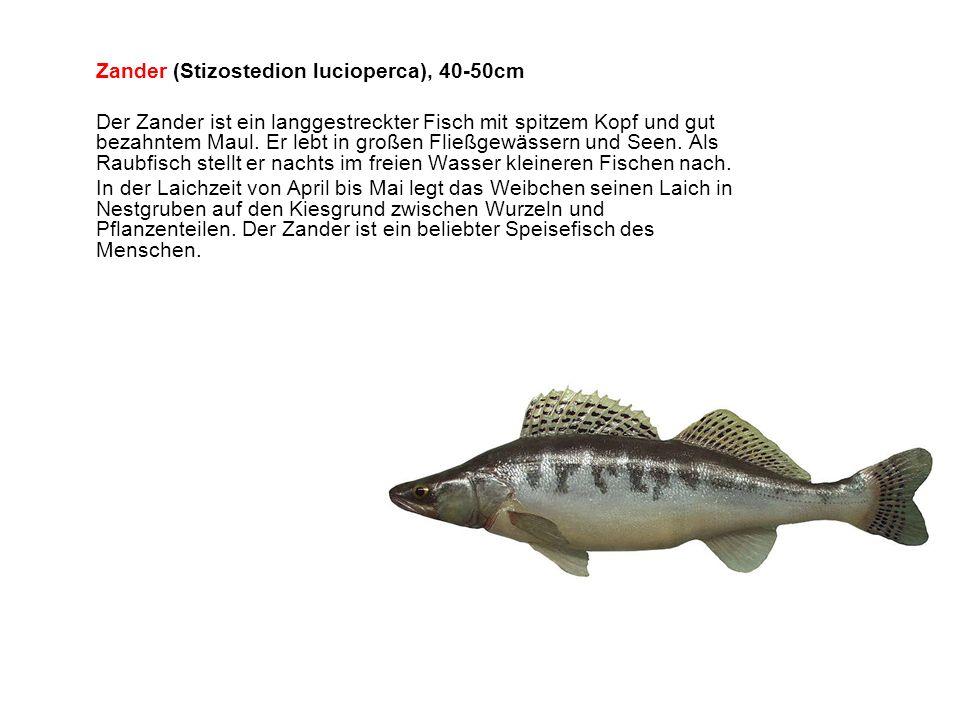 Zander (Stizostedion lucioperca), 40-50cm Der Zander ist ein langgestreckter Fisch mit spitzem Kopf und gut bezahntem Maul.