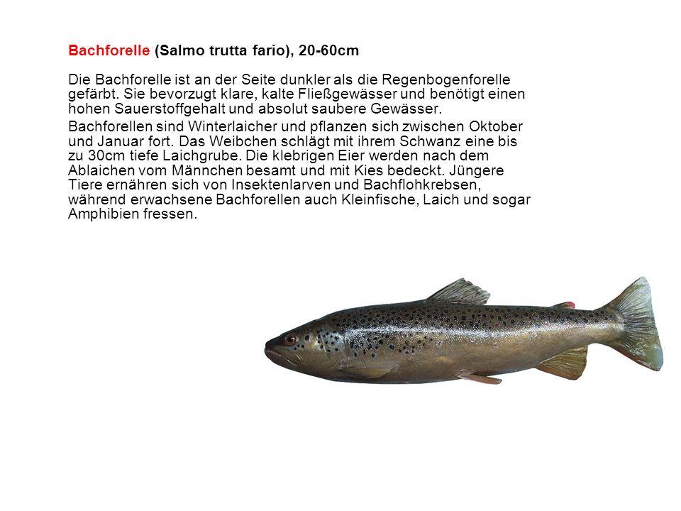 Bachforelle (Salmo trutta fario), 20-60cm Die Bachforelle ist an der Seite dunkler als die Regenbogenforelle gefärbt.