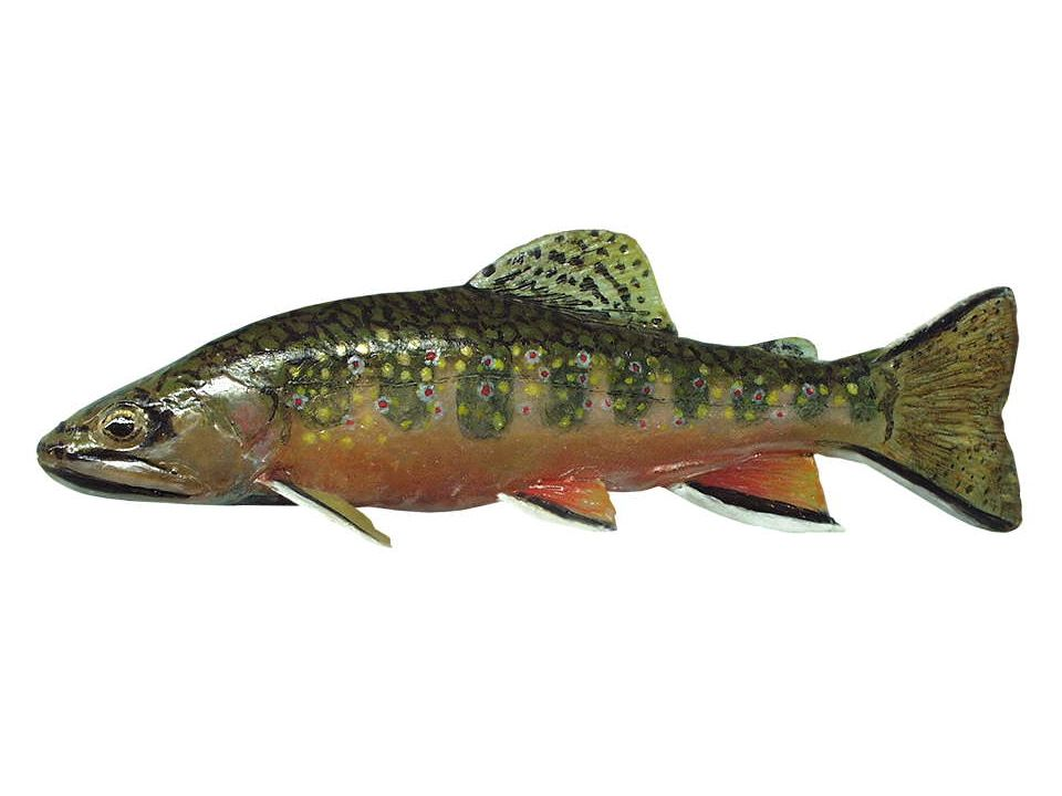 Elritze (Phoxinus phoxinus), 7-15cm Die Elritze ist ein relativ kleiner Fisch mit fast rundem Querschnitt.