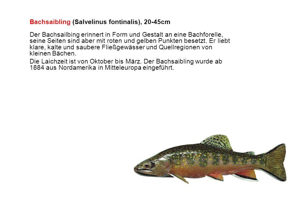 Bachsaibling (Salvelinus fontinalis), 20-45cm Der Bachsailbing erinnert in Form und Gestalt an eine Bachforelle, seine Seiten sind aber mit roten und gelben Punkten besetzt.
