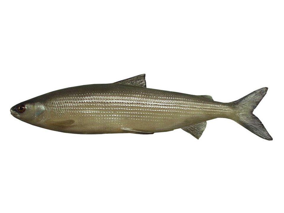 Dreistachliger Stichling (Gasterosteus aculeatus), 5-8cm Der Dreistachlige Stichling ist ein kleiner Fisch, dessen Hauptmerkmal die drei beweglichen Stacheln am Rücken sind.