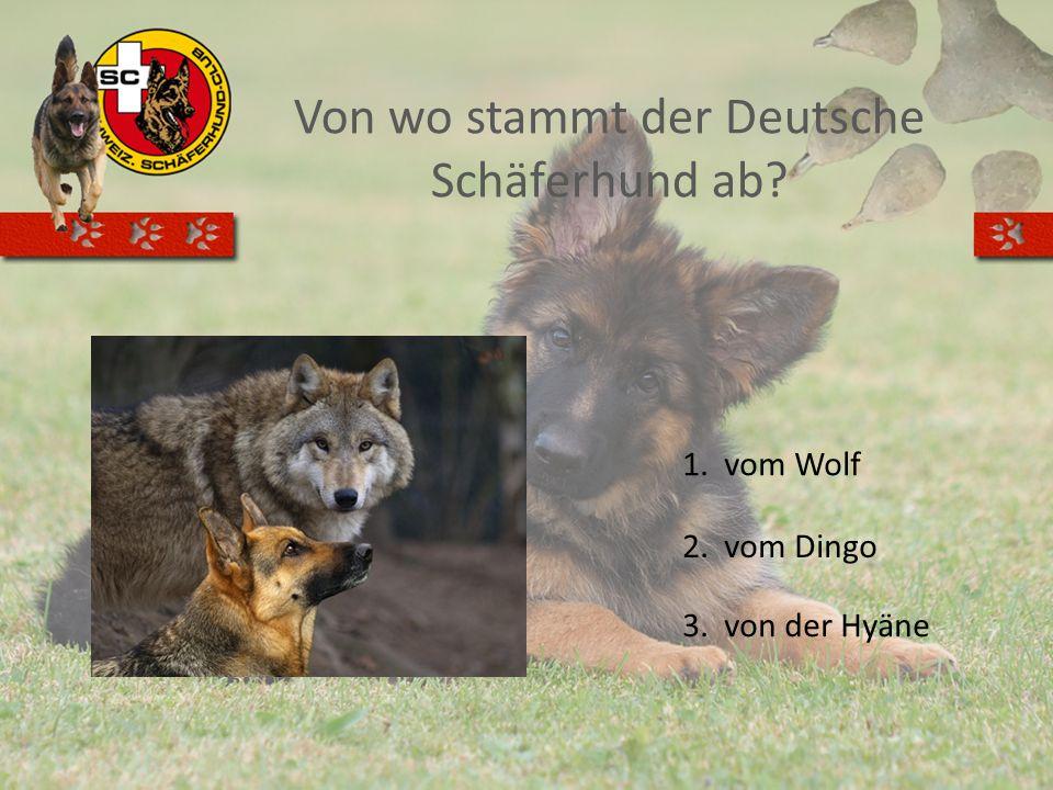 Von wo stammt der Deutsche Schäferhund ab? 1.vom Wolf 2.vom Dingo 3.von der Hyäne