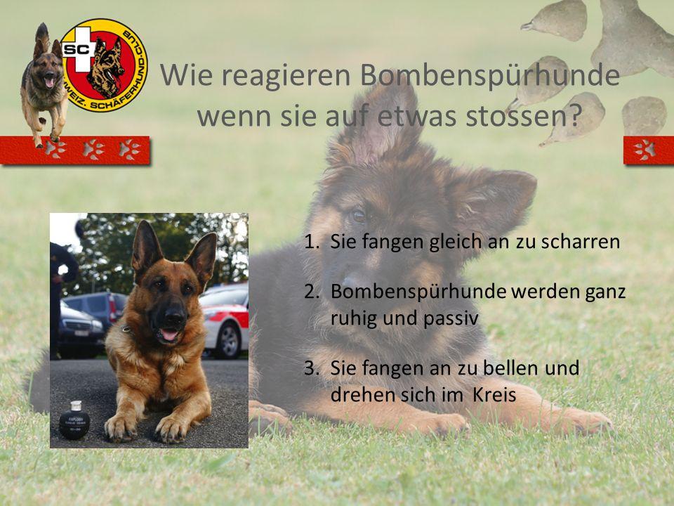 Wie reagieren Bombenspürhunde wenn sie auf etwas stossen? 1.Sie fangen gleich an zu scharren 2.Bombenspürhunde werden ganz ruhig und passiv 3.Sie fang