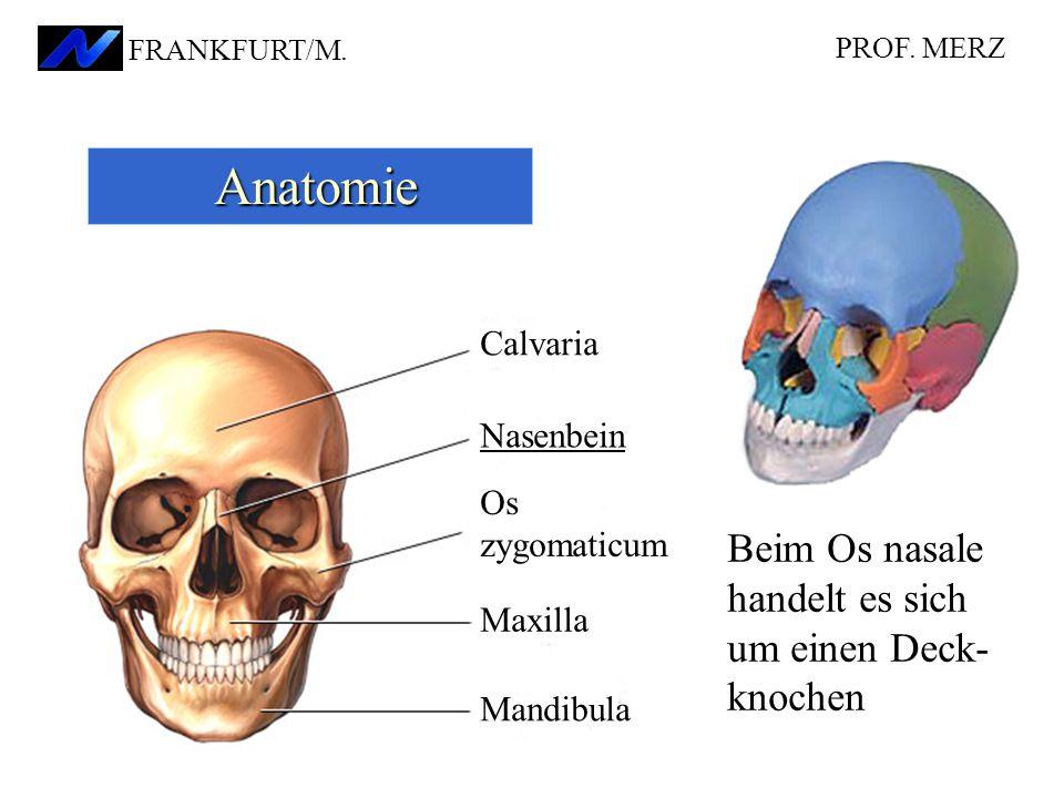 Nasenbein Calvaria Os zygomaticum Maxilla Mandibula Anatomie Anatomie Beim Os nasale handelt es sich um einen Deck- knochen PROF.