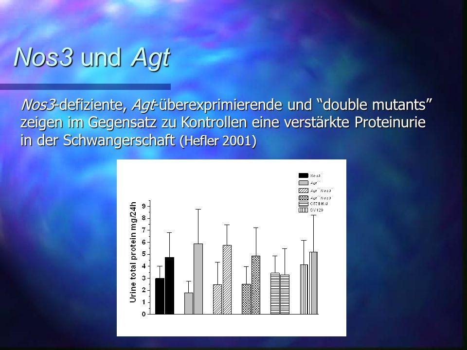 Nos3-defiziente, Agt-überexprimierende und double mutants zeigen im Gegensatz zu Kontrollen eine verstärkte Proteinurie in der Schwangerschaft (Hefler 2001) Nos3 und Agt