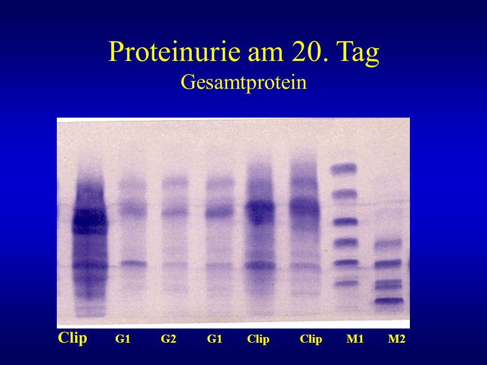 Proteinurie am 20. Tag Gesamtprotein Clip G1 G2 G1 Clip Clip M1 M2