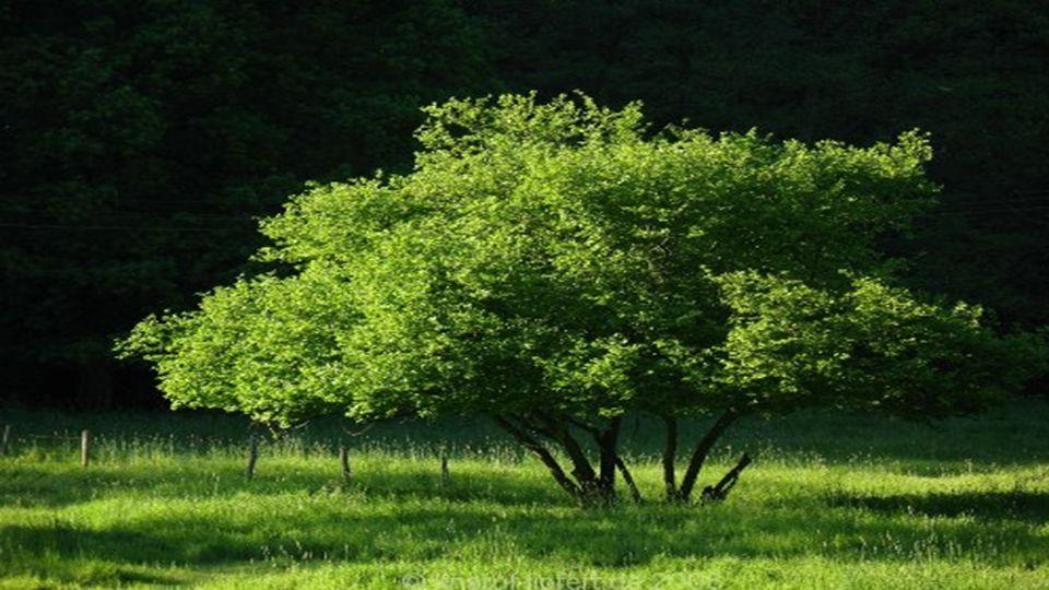 Der Japanische Rosinenbaum ist ein kleiner, laubabwerfender Baum, der Wuchshöhen von etwa 10 Meter erreicht. Die glatte Rinde der Zweige ist schwärzli
