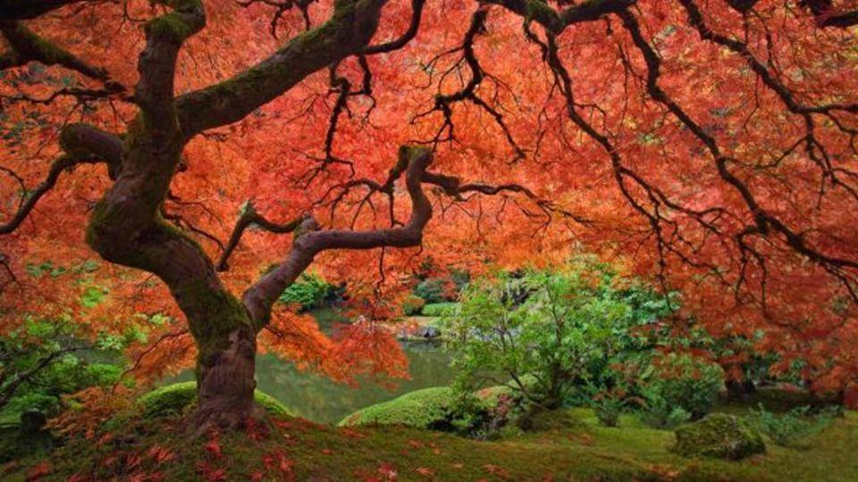 Der chinesische Feuer-Baum trotz seines Namens, hat er überwiegend grüne Blätter.