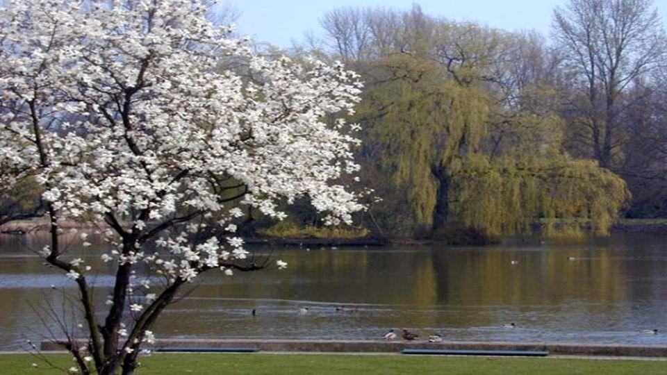 Die Kobushi-Magnolien (Magnolia kobus; jap.