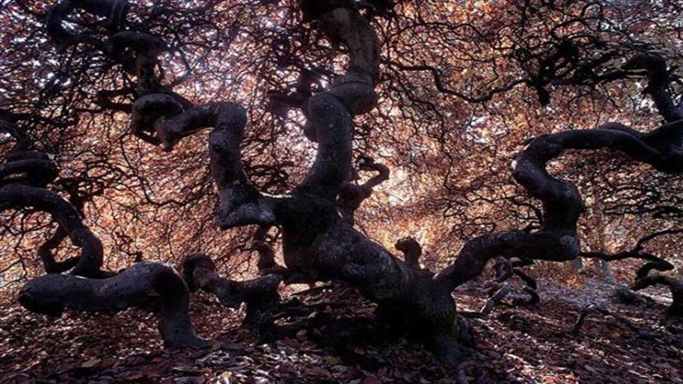 Die japanische Buche ist einer der häufigsten Bäume in den japanischen Wäldern.