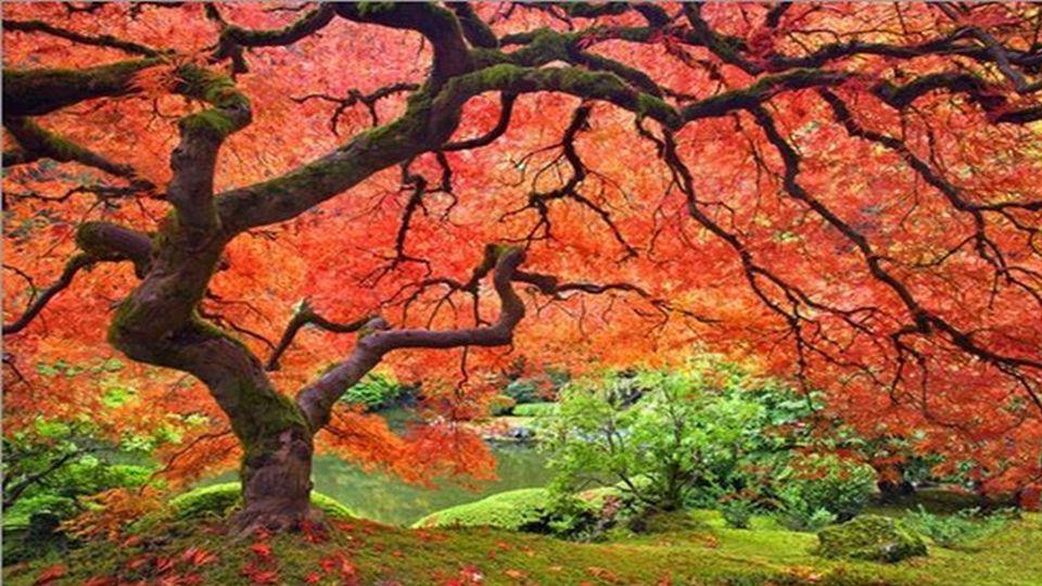 Der japanische Ahorn ist einer der beliebtesten Bäume der in japanischen Ziergärten gefunden wird, sowie in Europa als Zimmerpflanze.