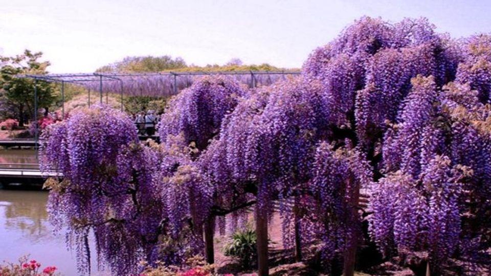 Die japanische Wisteria ist eine weitere Cousine der gemeinsamen Gartenerbsen. Dieser bemerkenswerte Baum, der Hülsenfrüchte Familie, ist eine kletter