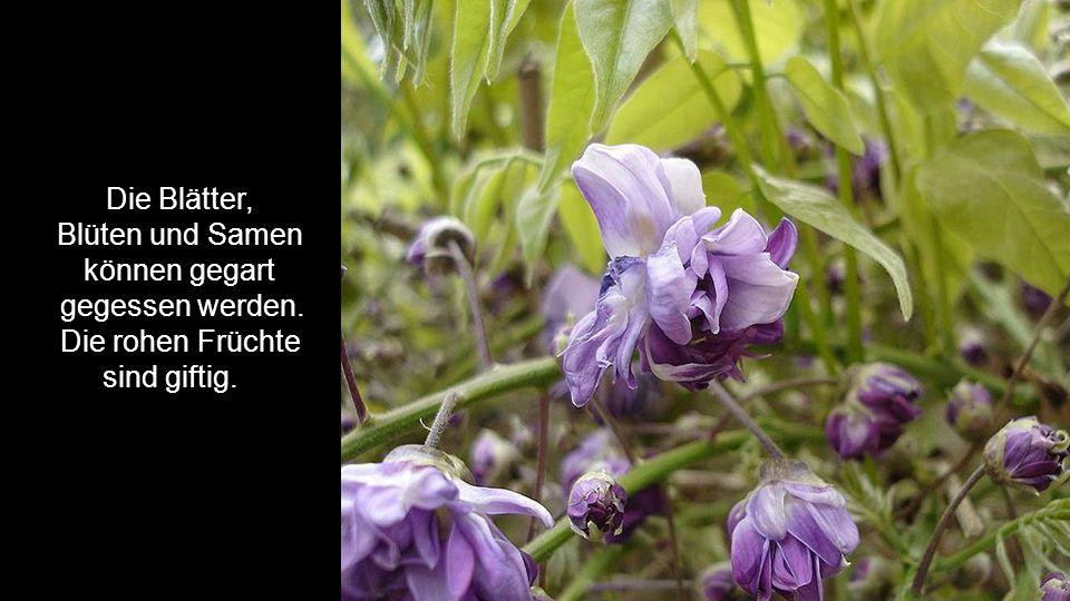 Die Blätter, Blüten und Samen können gegart gegessen werden. Die rohen Früchte sind giftig.