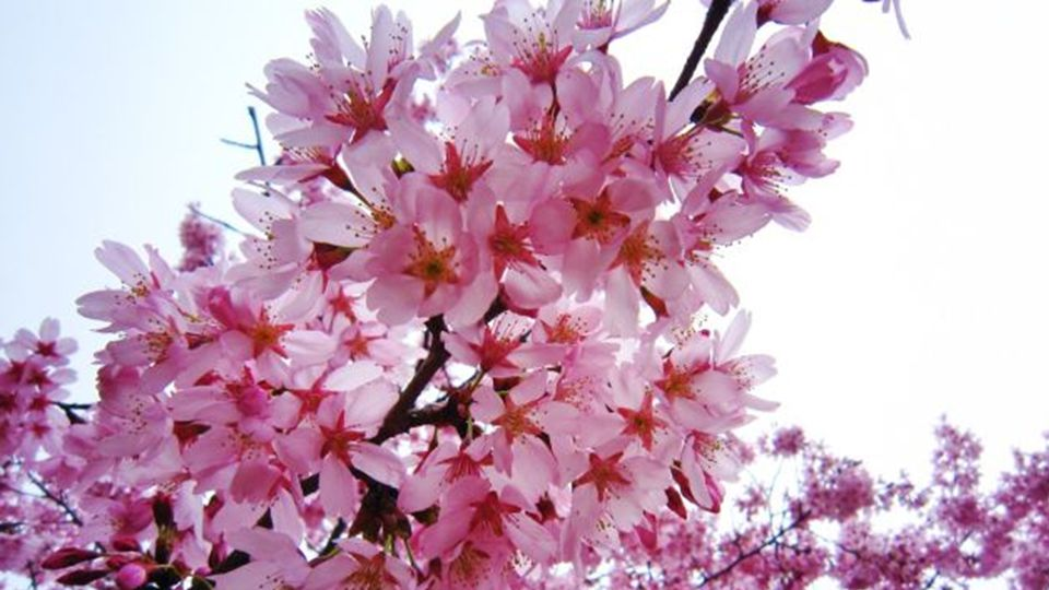 Die vielen Verzweigungen und verschiedenen farbigen Blätter des Baumes sind ein Symbol für die Schönheit der Natur, der Ruhe und Frieden, und das ist die Bedeutung, die sie in der traditionellen japanischen Liedern und Geschichten hat.