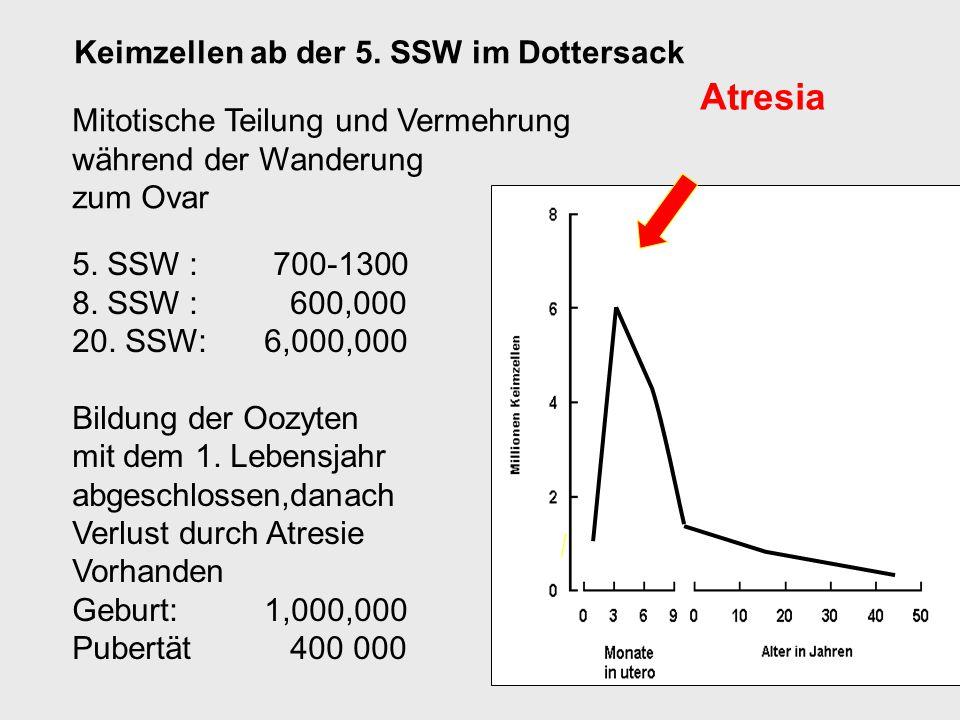 Keimzellen ab der 5. SSW im Dottersack Mitotische Teilung und Vermehrung während der Wanderung zum Ovar 5. SSW : 700-1300 8. SSW : 600,000 20. SSW: 6,