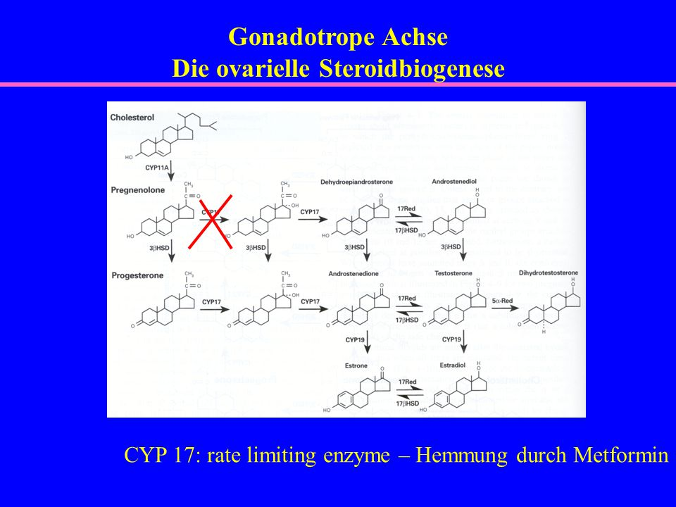 Gonadotrope Achse Die ovarielle Steroidbiogenese CYP 17: rate limiting enzyme – Hemmung durch Metformin