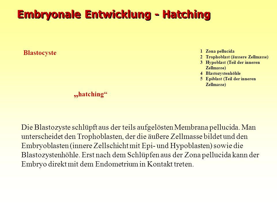 Embryonale Entwicklung - Hatching Die Blastozyste schlüpft aus der teils aufgelösten Membrana pellucida. Man unterscheidet den Trophoblasten, der die