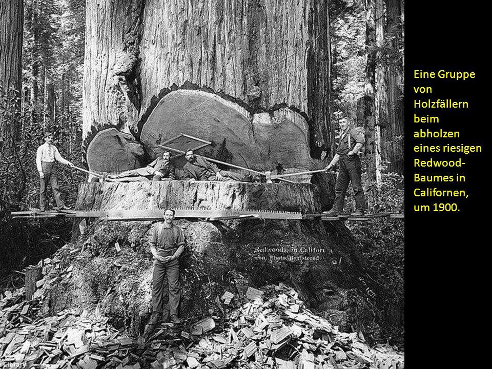 Eine Gruppe von Holzfällern beim abholzen eines riesigen Redwood- Baumes in Californen, um 1900.