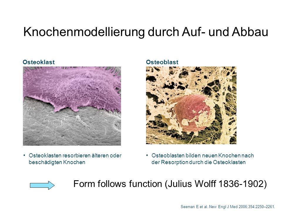 Knochen-Remodelling Monocyte Präosteoklast Osteoklast Makrophage Präosteoblast Osteoblast Bone-lining cell Alter Knochen Osteozyt Osteoid Neuer Knochen Mesenchymale Stammzellen Hämatopoetische Stammzellen RuheResorptionUmwandlungFormationMineralisationRuhe