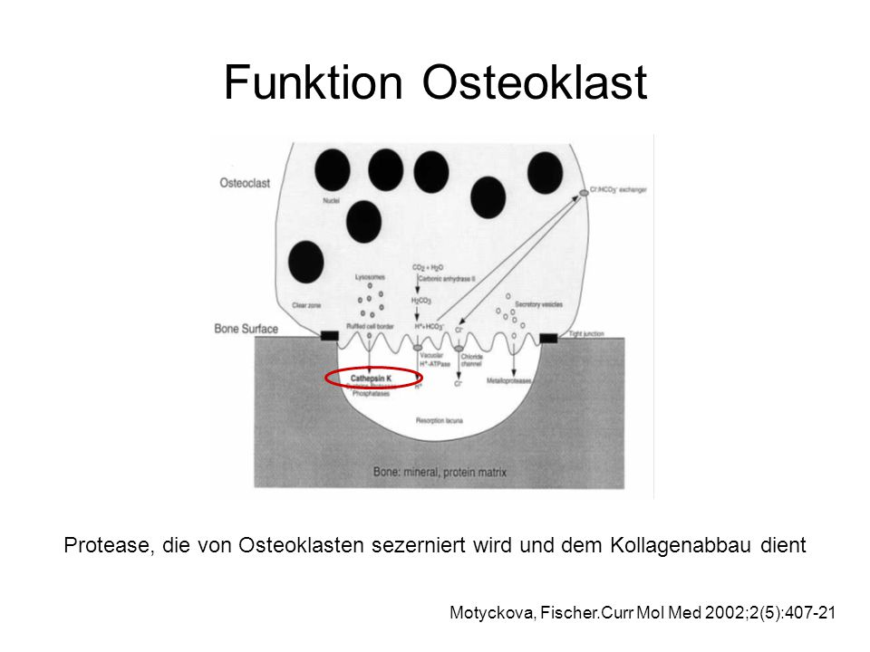 Funktion Osteoklast Protease, die von Osteoklasten sezerniert wird und dem Kollagenabbau dient Motyckova, Fischer.Curr Mol Med 2002;2(5):407-21