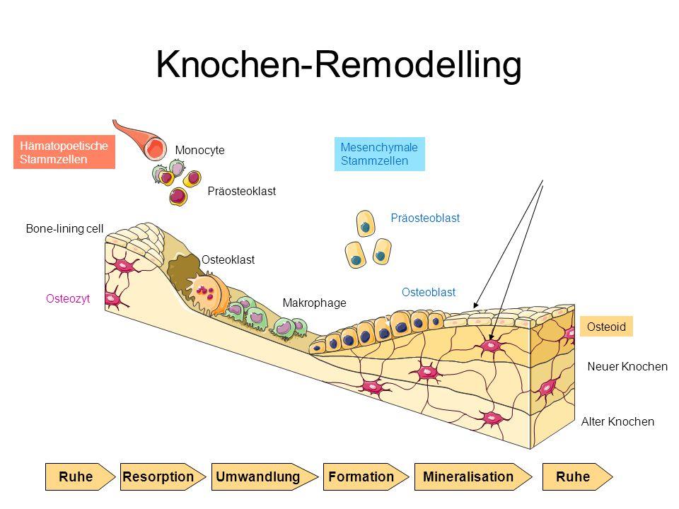 Knochen-Remodelling Monocyte Präosteoklast Osteoklast Makrophage Präosteoblast Osteoblast Bone-lining cell Alter Knochen Osteozyt Osteoid Neuer Knoche