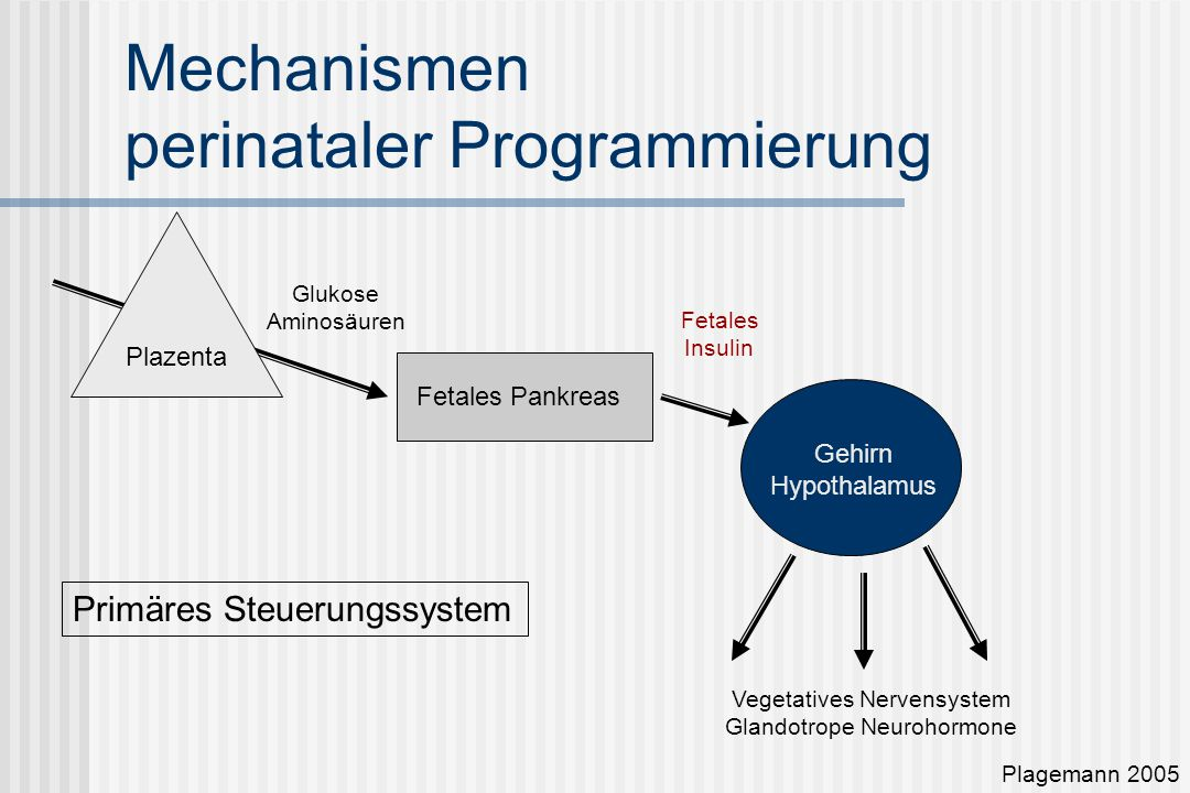 Mechanismen perinataler Programmierung Plazenta Fetales Pankreas Gehirn Hypothalamus Glukose Aminosäuren Fetales Insulin Vegetatives Nervensystem Glandotrope Neurohormone Plagemann 2005 Primäres Steuerungssystem