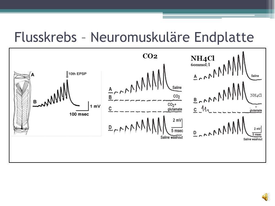 Flusskrebs – Neuromuskuläre Endplatte basischsauer