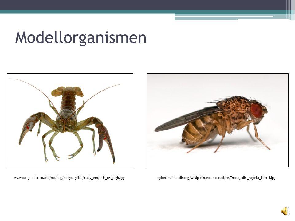 Gliederung Modellorganismen Physiologischer Hintergrund Versuchsdurchführung Ergebnisse ▫Flusskrebs ▫Drosophila Zusammenfassung