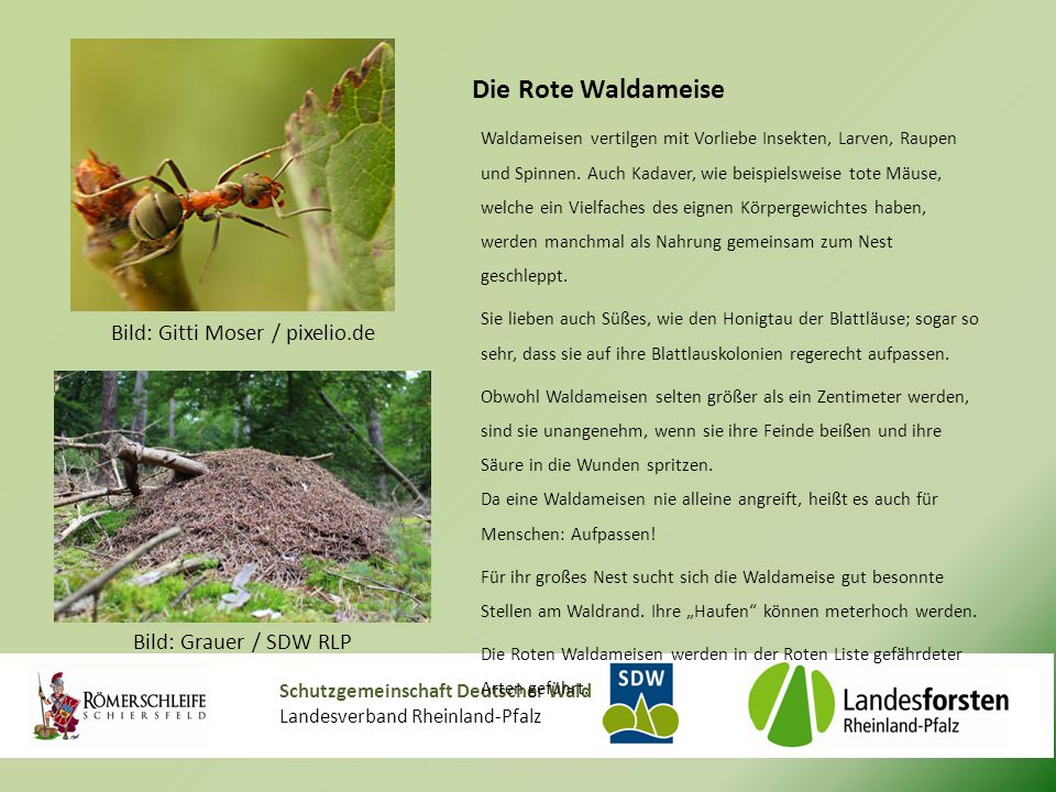 Schutzgemeinschaft Deutscher Wald Landesverband Rheinland-Pfalz Die Rote Waldameise Waldameisen vertilgen mit Vorliebe Insekten, Larven, Raupen und Spinnen.