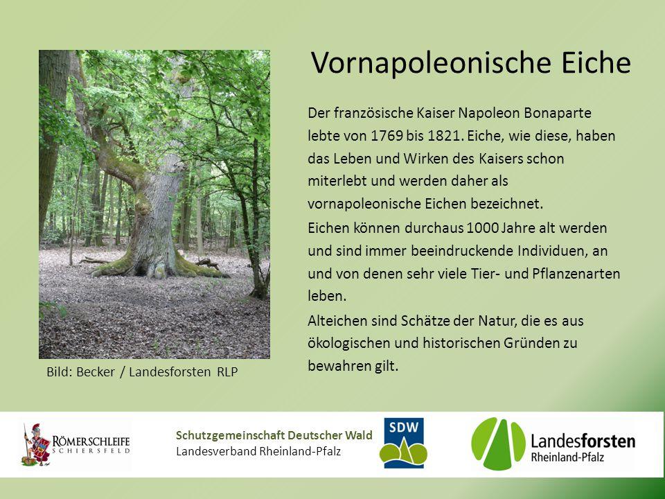Schutzgemeinschaft Deutscher Wald Landesverband Rheinland-Pfalz Vornapoleonische Eiche Der französische Kaiser Napoleon Bonaparte lebte von 1769 bis 1821.