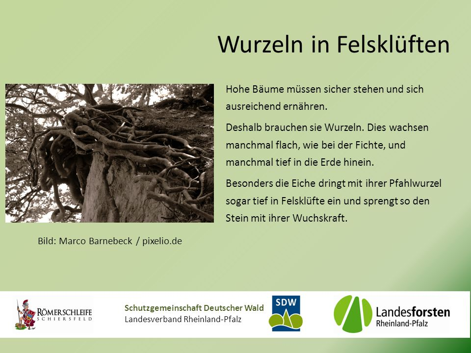 Schutzgemeinschaft Deutscher Wald Landesverband Rheinland-Pfalz Wurzeln in Felsklüften Hohe Bäume müssen sicher stehen und sich ausreichend ernähren.