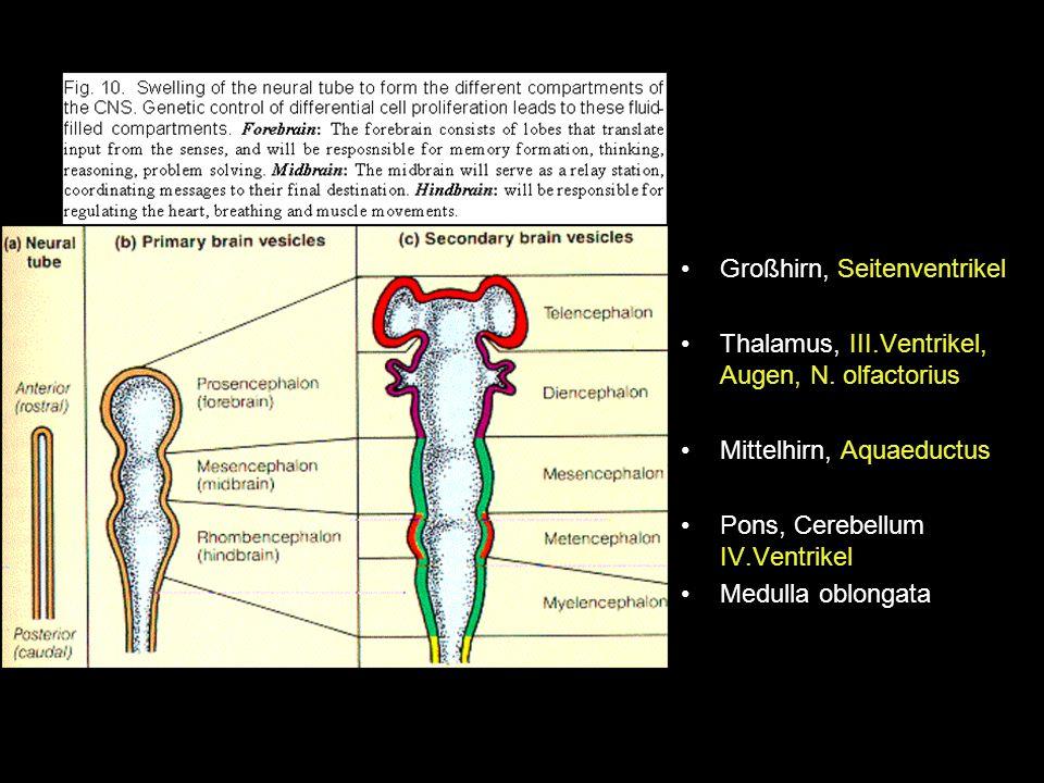 Großhirn, Seitenventrikel Thalamus, III.Ventrikel, Augen, N. olfactorius Mittelhirn, Aquaeductus Pons, Cerebellum IV.Ventrikel Medulla oblongata