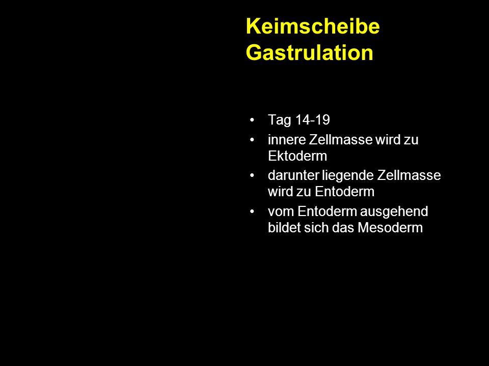 Keimscheibe Gastrulation Tag 14-19 innere Zellmasse wird zu Ektoderm darunter liegende Zellmasse wird zu Entoderm vom Entoderm ausgehend bildet sich d
