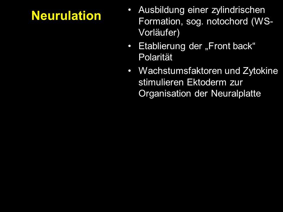 """Ausbildung einer zylindrischen Formation, sog. notochord (WS- Vorläufer) Etablierung der """"Front back"""" Polarität Wachstumsfaktoren und Zytokine stimuli"""