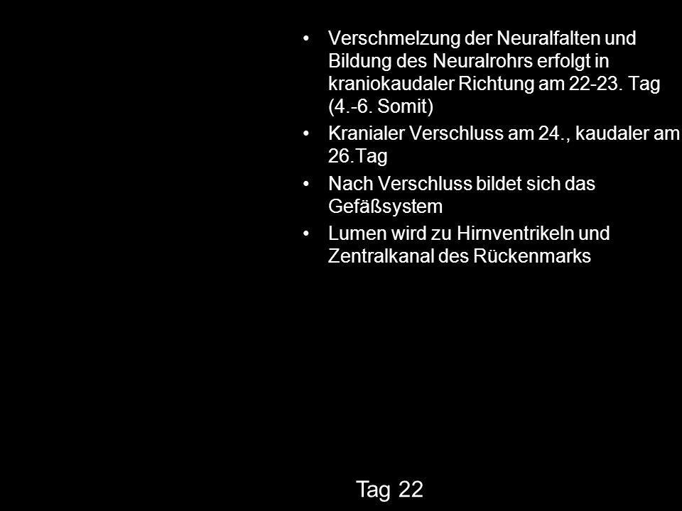 Verschmelzung der Neuralfalten und Bildung des Neuralrohrs erfolgt in kraniokaudaler Richtung am 22-23. Tag (4.-6. Somit) Kranialer Verschluss am 24.,