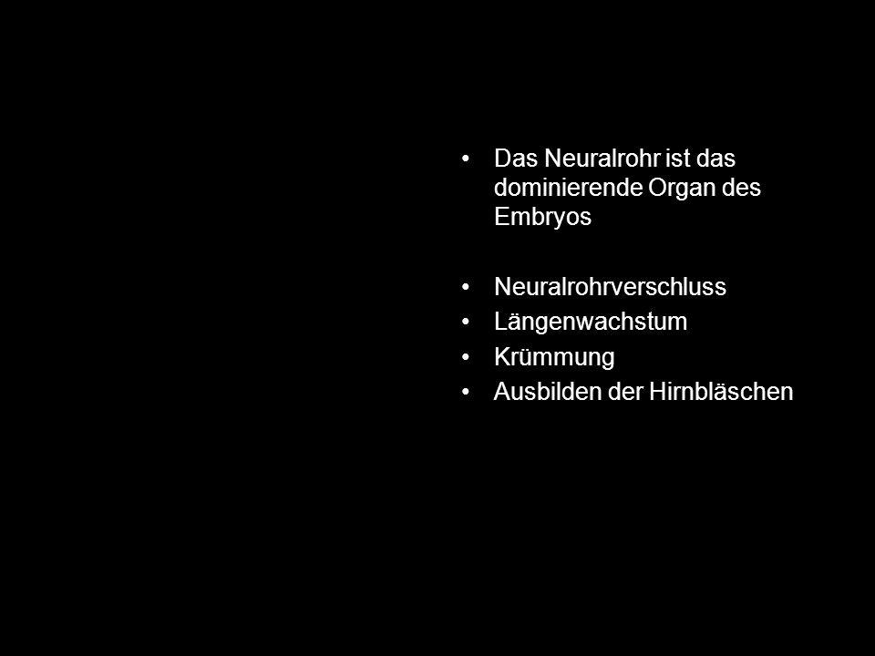 Das Neuralrohr ist das dominierende Organ des Embryos Neuralrohrverschluss Längenwachstum Krümmung Ausbilden der Hirnbläschen