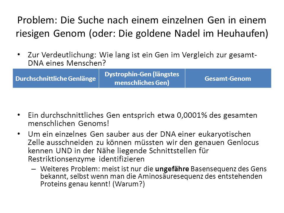 Problem: Die Suche nach einem einzelnen Gen in einem riesigen Genom (oder: Die goldene Nadel im Heuhaufen) Zur Verdeutlichung: Wie lang ist ein Gen im