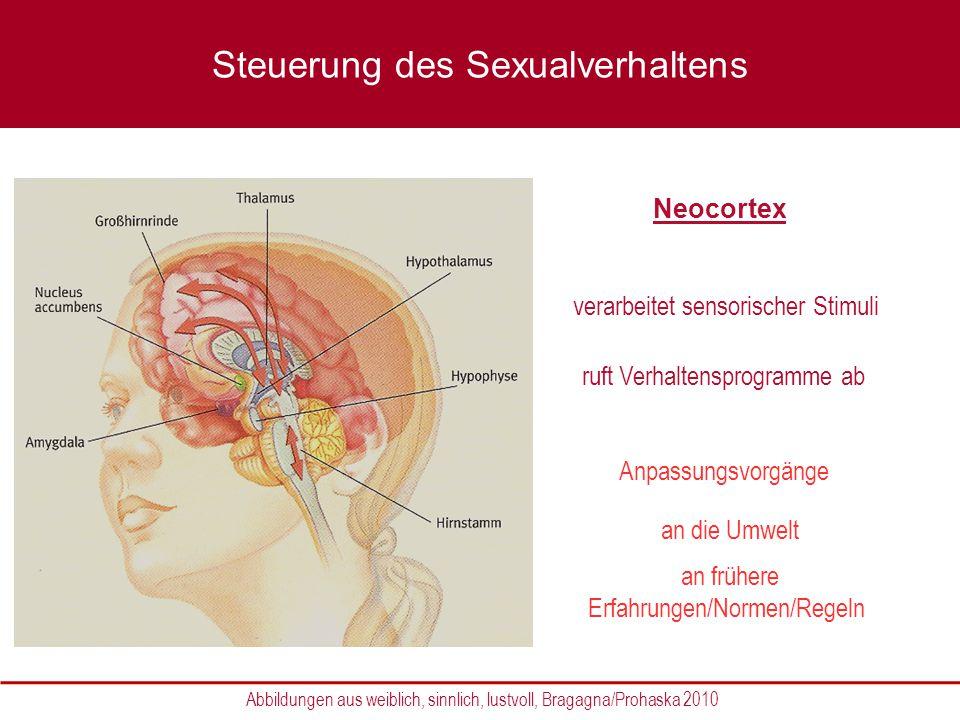 Neocortex verarbeitet sensorischer Stimuli ruft Verhaltensprogramme ab Steuerung des Sexualverhaltens Anpassungsvorgänge an frühere Erfahrungen/Normen