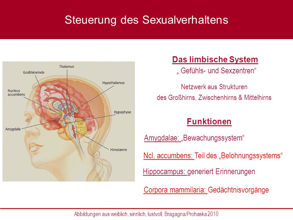 Hypothalamus Steuerungszentrum des vegetativen Nervensystems Thalamus moduliert ein- und ausgehenden Informationen zum Großhirn Abbildungen aus weiblich, sinnlich, lustvoll, Bragagna/Prohaska 2010 Steuerung des Sexualverhaltens