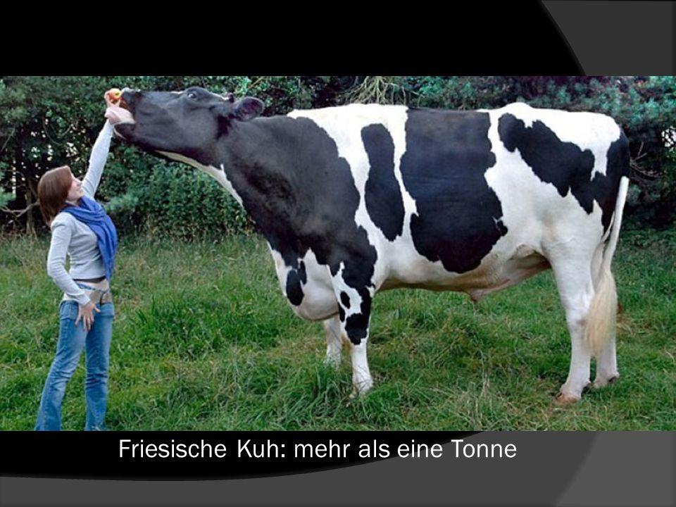 Friesische Kuh: mehr als eine Tonne