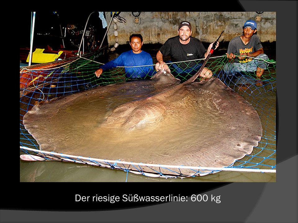Der riesige Süßwasserlinie: 600 kg