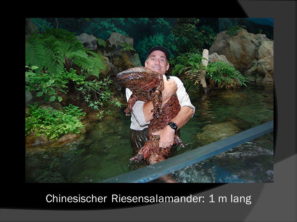 Chinesischer Riesensalamander: 1 m lang