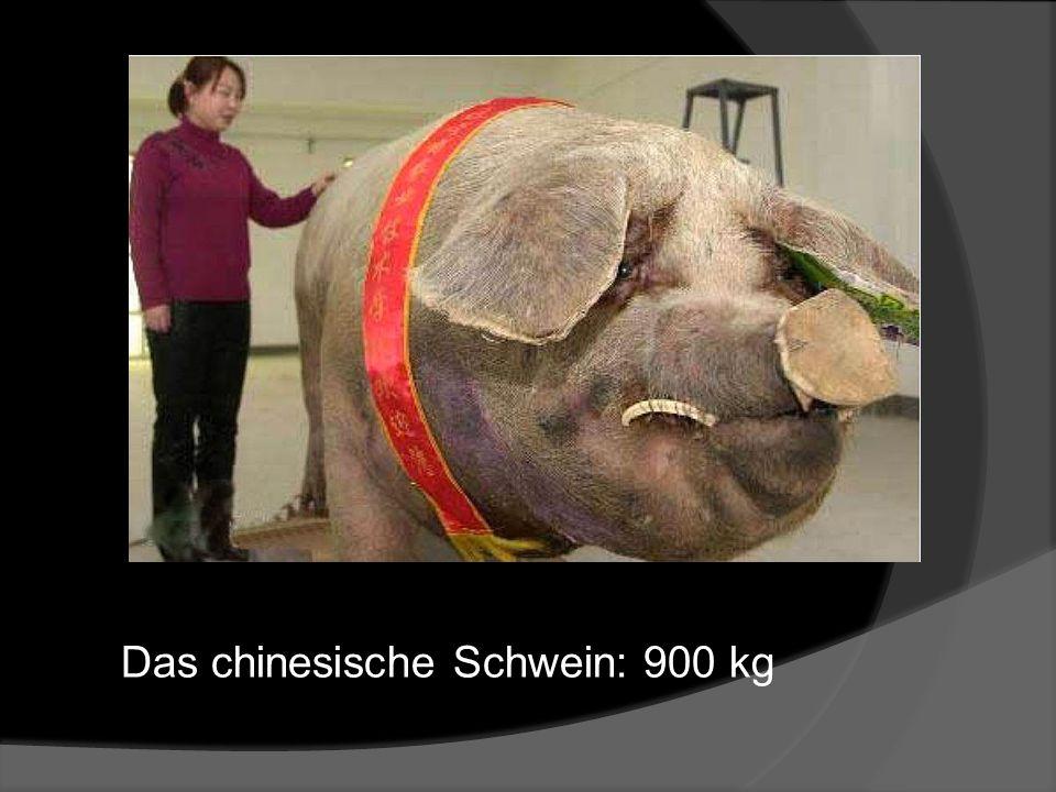 Das chinesische Schwein: 900 kg