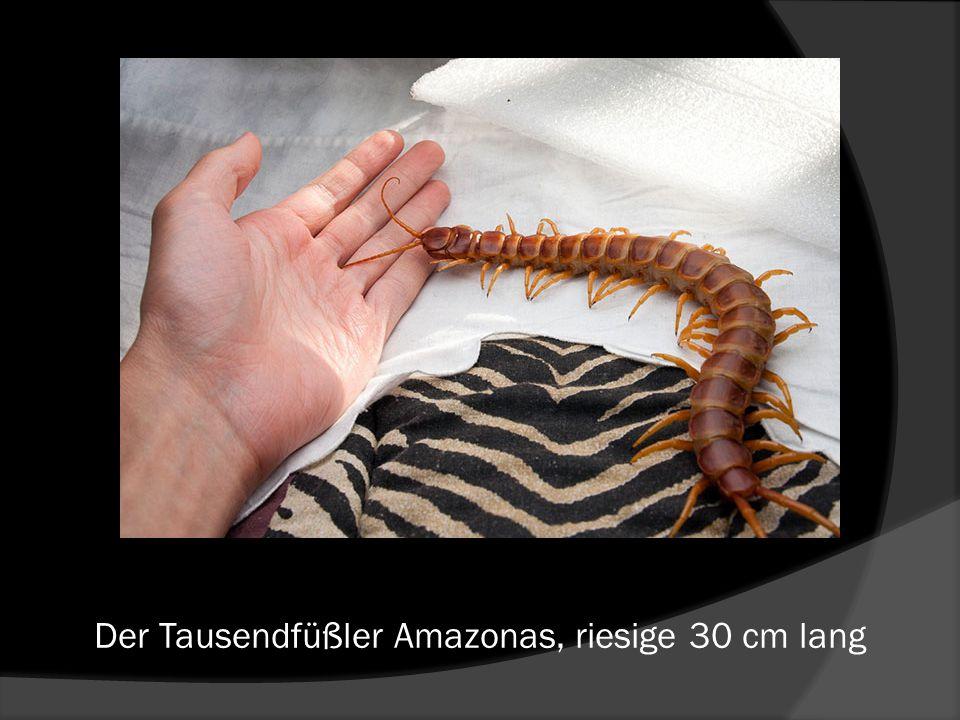Der Tausendfüßler Amazonas, riesige 30 cm lang