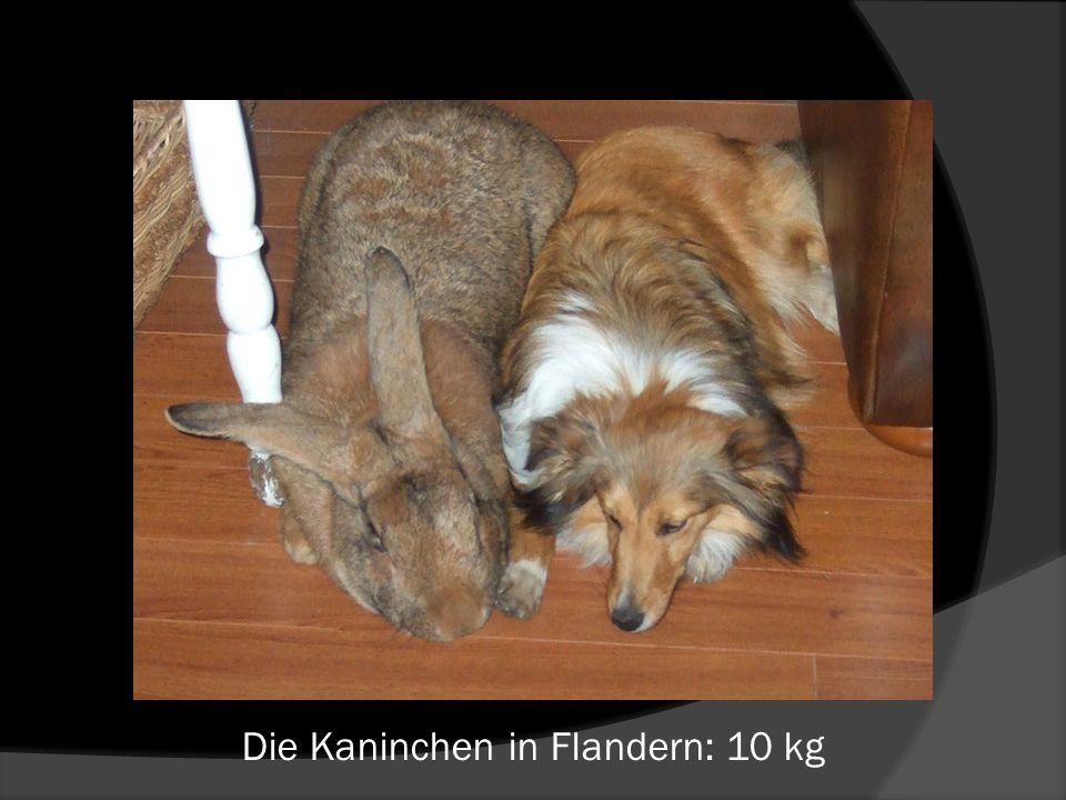 Die Kaninchen in Flandern: 10 kg