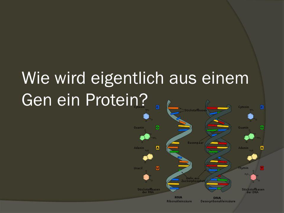 Wie wird eigentlich aus einem Gen ein Protein?