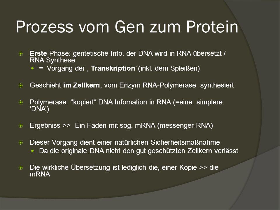 Prozess vom Gen zum Protein  Erste Phase: gentetische Info. der DNA wird in RNA übersetzt / RNA Synthese = Vorgang der ' Transkription' )inkl. dem Sp
